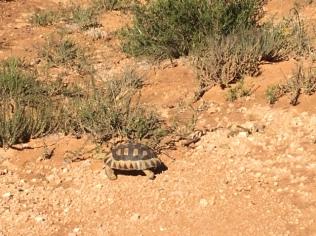 Tortue/ Leopard Tortoise
